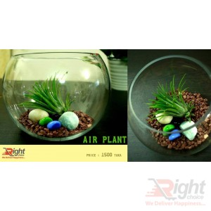 Air Plant with Glass Jar & Stone