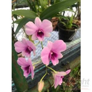 Dendrobium Miniature Orchid