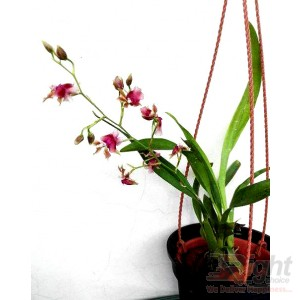 Oncidium  Pacific Sunrise