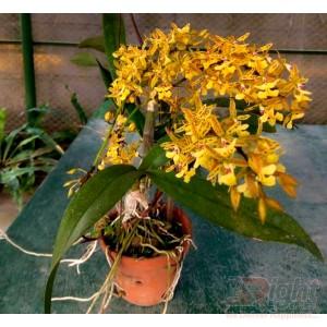 Big Dendrobium Orchid