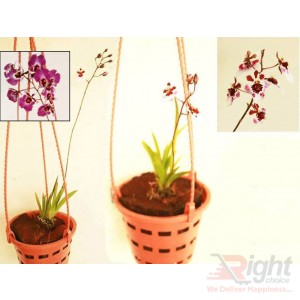 Tolumia Orchid