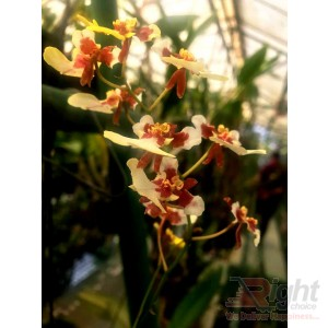 Oncidium White
