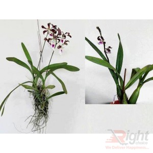 Mounting Fragrance Orchid