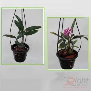 Dendrobium Bracteosum