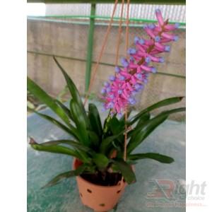 Bromelia Orchid Plant