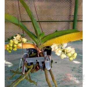 Escosenda Orchid