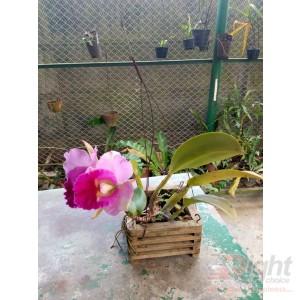 Katelia Orchid Plant