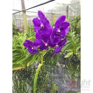 Venda Orchid Plant