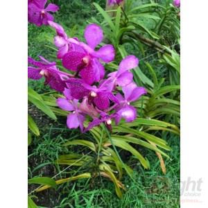 Arenda Orchid Plant