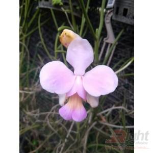 Venda Teres Orchid Plant