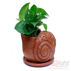 Money Plants With Beautiful and Nice Antic Color Snail Tob