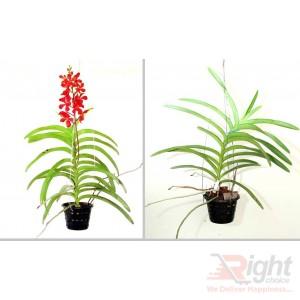 Mokara Orchid Plants