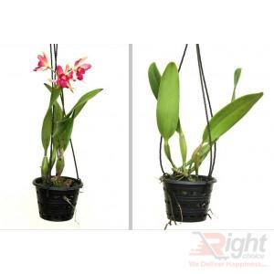 Catalonia Mini Orchid Plants