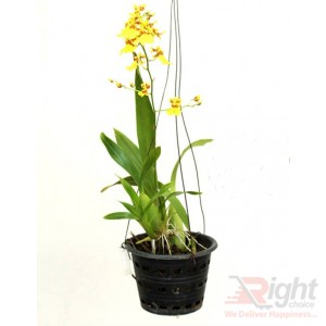Oncidium Dancing Lady Orchid